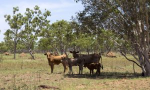cattle-station