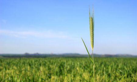 wheat-stalk