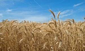 wheat-crop33