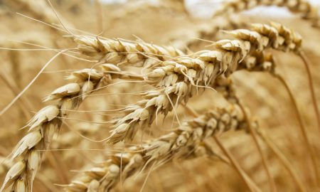 wheat-bends