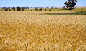 ripe-australian-wheat-blowi