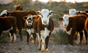beef-cattle-NSW