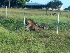 Deer are growing concern for many farmers in Australia - it doesn't take much for this Rusa Deer to duck under a wire fence. Image taken by Ian Lackington in QLD