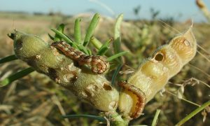 Native budworm, pictured on a lupin pod, is indigenous to Australia and can develop large populations over extensive areas on native plants. The moths often migrate into agricultural regions in late winter and spring. Photo by DPIRD.