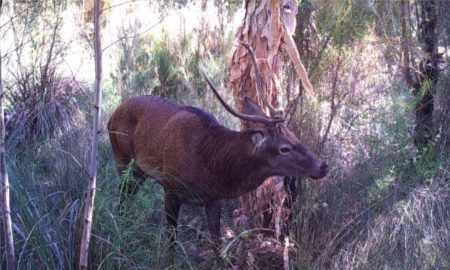 Deer trample protected plants, muddy areas used by native frogs as homes, and ring bark trees by rubbing their antlers against them. This image shows severe defoliation of a paperbark tree from this red deer and its antlers. Image taken by James Gummer in WA.