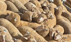 sheep tag stock image