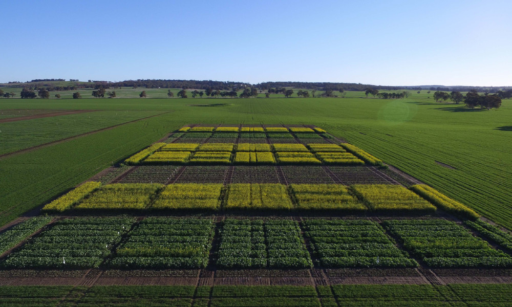Plots of canola at West Dale in July 2018, where the Department of Primary Industries and Regional Development undertook a time of sowing trial to evaluate the merits of very early sowing on yield and quality.