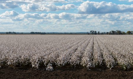 cotton farm stock image