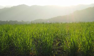 1234 la sugarcane leading agriculture feb 19