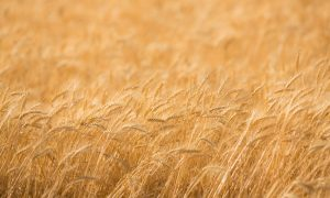 wheat field gold stock image