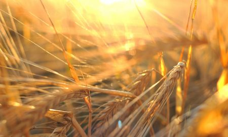barley grains stock image
