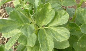 virus outbreak in faba beans