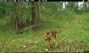 A wild dog captured wandering in urban bushland near to homes and roadsides in south-east Queensland (image supplied by Lana Harriott).